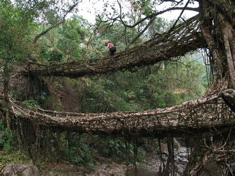 living bridges living bridges dusky s wonders
