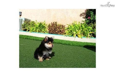 teacup yorkie for sale in san diego mixed other puppy for sale near san diego california c4d34b9c 5911