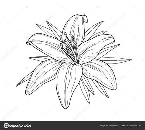 fiori bianco nero giglio bianco e nero fiore tigre lilly isolato su