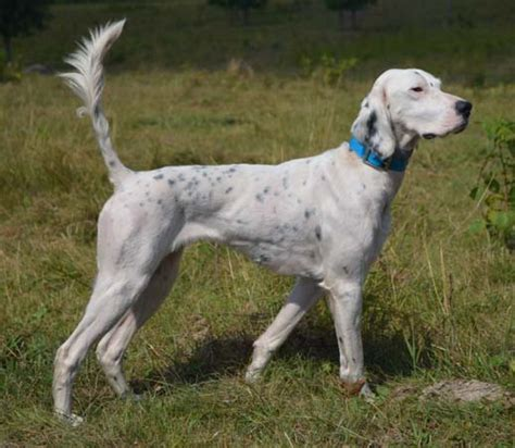 russian setter dog northwoods bird dogs english setter pointers for sale