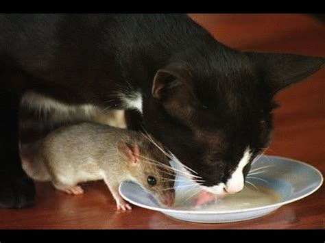Studded Mouse A Best Friend by Cat And Mouse Become Best Friends