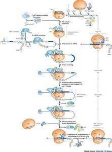 where in a eukaryotic cell does translation occur model for eukaryotic translation initiation learn