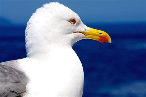 gabbiano uccello foto gratis gabbiano acqua animale uccello cielo mare
