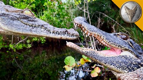 Alligator vs Crocodile! - YouTube