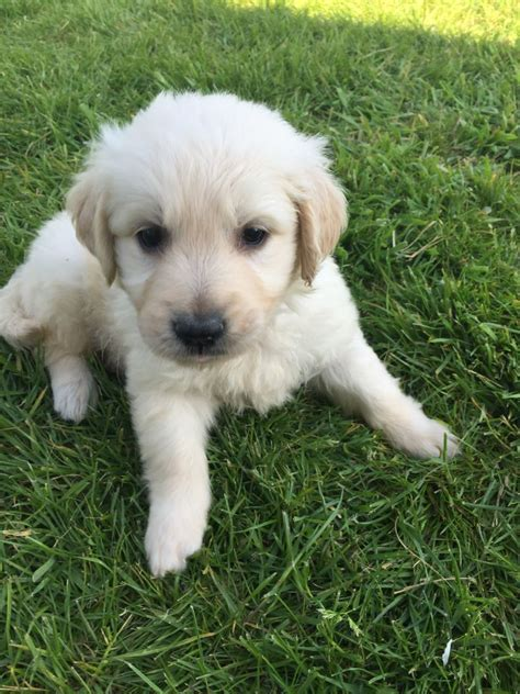goldendoodle puppies for sale in essex beautiful goldendoodles puppies maldon essex pets4homes