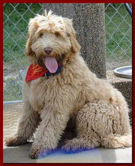 doodle puppy cut australian labradoodle cuts hairstylegalleries