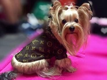 yorkie stages all about the yorkies we yorkie