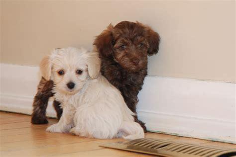 havanese puppies toronto havapoo havanese poodle puppies only 1 left toronto dogs for sale puppies