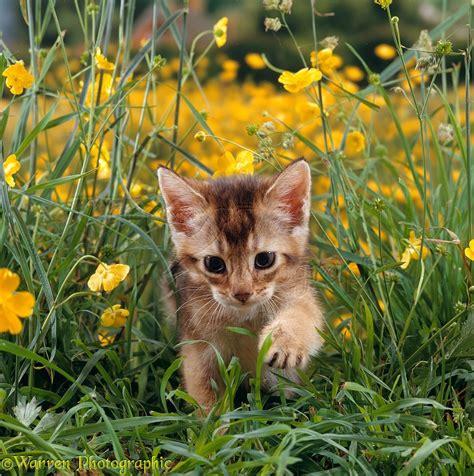 Cute Garden abyssinian kitten 6 weeks old in grass and buttercups