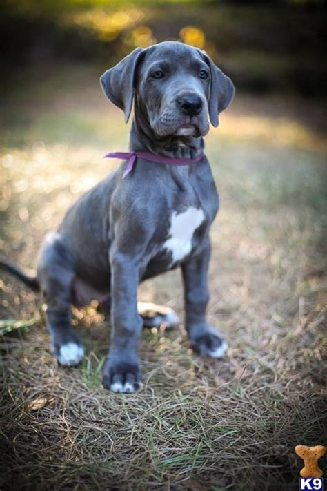 blue great dane puppy best 25 blue great danes ideas on great dane dogs gran danes and great