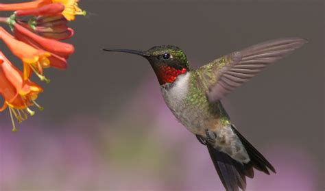 do hummingbirds migrate 28 images where do