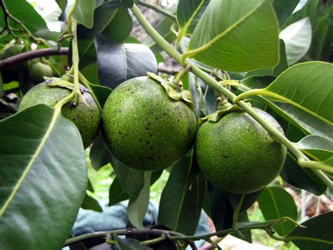 black fruit tree fruit warehouse black sapote diospyros digyna