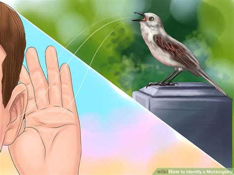 how to identify a mockingbird 7 steps with pictures