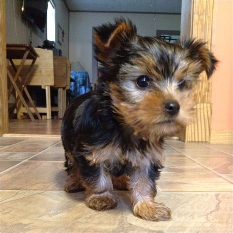 what does a teacup yorkie look like 17 best ideas about teacup yorkie on mini yorkie yorkie puppies and