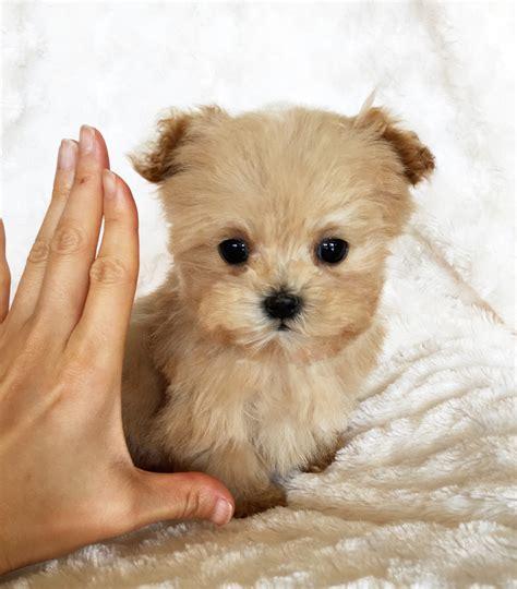teacup maltipoo puppies image gallery teacup maltipoo