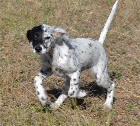 female english setter puppies field bred female english setter puppies field bred