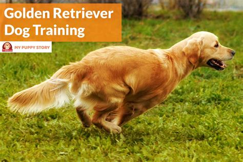 golden retriever techniques effective golden retriever techniques effective golden retriever