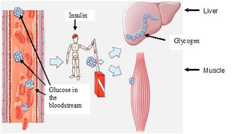 carbohydrates stored in the liver are in the form of starch glycogen the s half your brain on sci