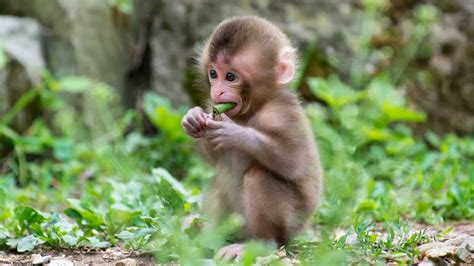 kinds of monkeys to be kept as pets pet attack