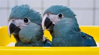 spix macaw rio wiki