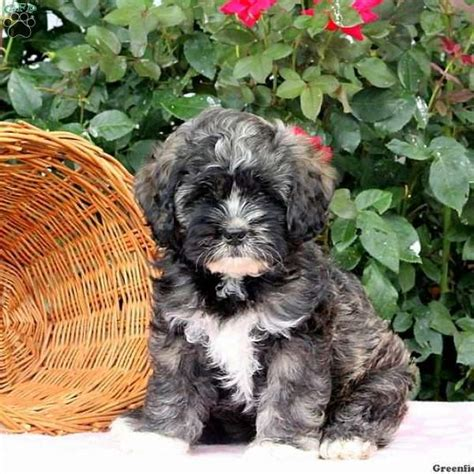 shih tzu puppies for sale in baltimore md shih tzu mix puppies for sale in de md ny nj philly dc and baltimore