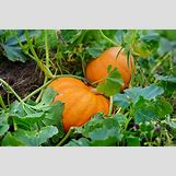 Pumpkins Growing   1000 x 666 jpeg 832kB