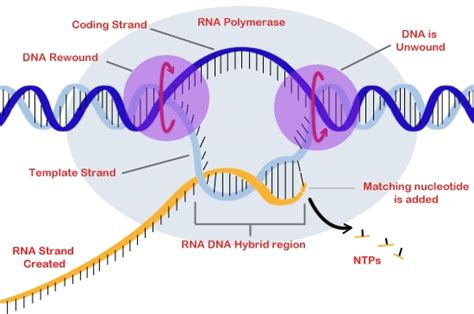 template definition biology dna to protein thinglink