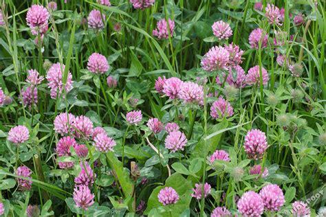 wit blad rode rand witte bloemen vijver rode klaver trifolium pratense helder roze wilde bloemen