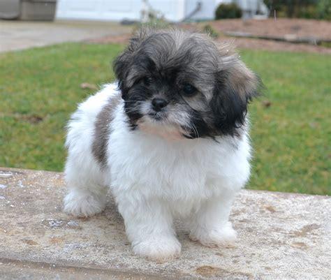 peekapoo puppies pekepoo puppies breeder sales peekapoo puppies pekepoo park