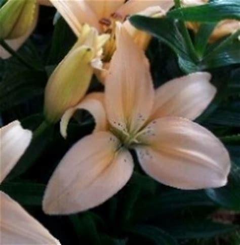 significato fiore giglio significato giglio significato dei fiori conoscere il