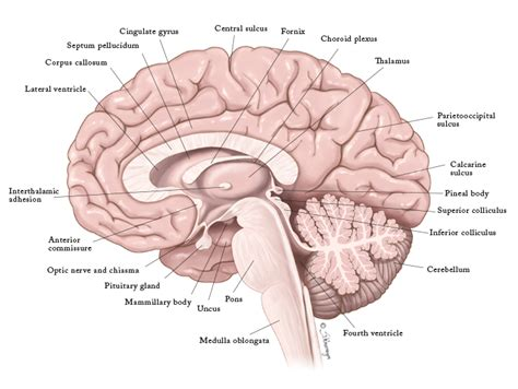 human brain sagittal section image gallery midsagittal