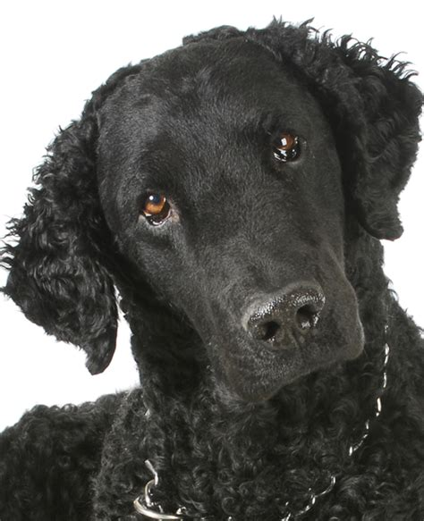 Curly Coated Retriever dog breed information | Noah's Dogs