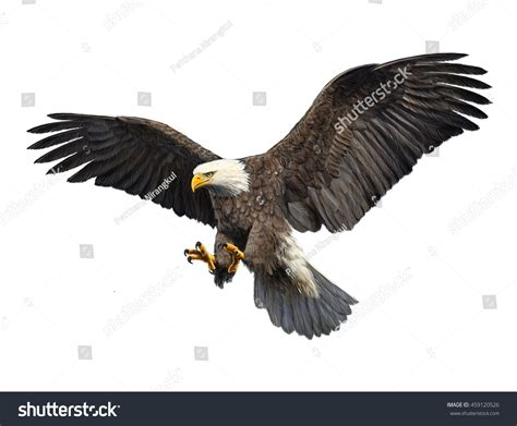 bald eagle draw paint colors lager illustration 459120526