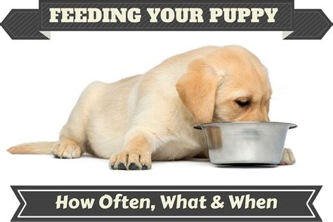 how often and how much to feed a puppy dachshund puppies dallas tx