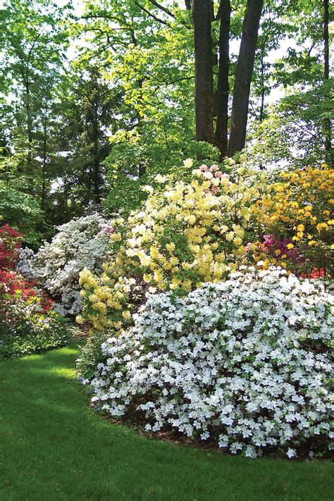 patio rhododendron everything about azaleas state by state gardening web