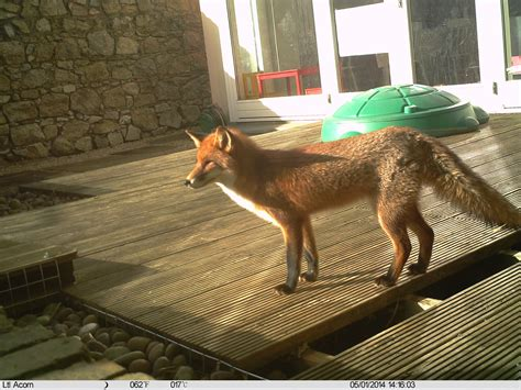 get rid of foxes in backyard getting rid of a fox in my garden wildlife management