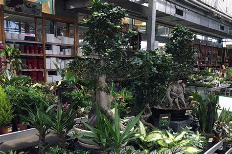 große zimmerpflanzen kaufen kaufen baumarkt baumarkt fenster holzfenster