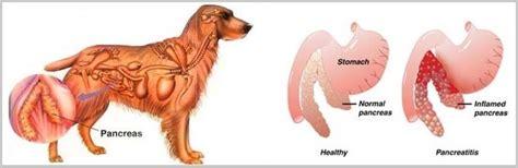 golden retriever glands pancreatitis in golden retriever dogs symptoms causes and treatment