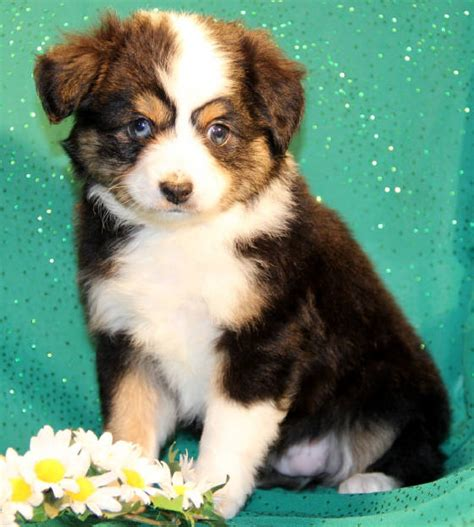 aussie puppies for sale in bet miniature australian shepherd puppies for sale to al me pa ak md ri az