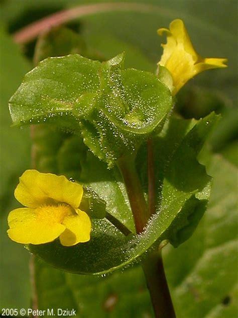 mimulus glabratus  leaf monkey flower minnesota
