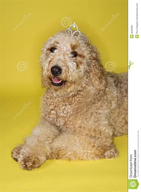 tiara puppy wearing tiara royalty free stock image image 2045666