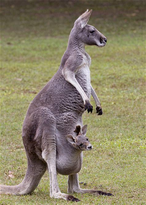 Kangaroos Running Original 02 eastern grey kangaroo with joey flickr photo