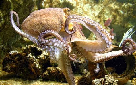 octopus l octopus wallpapers hd download
