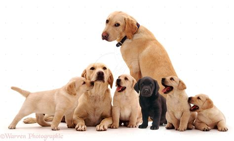 labrador or golden retriever best family dogs labrador retriever health problems breeds picture