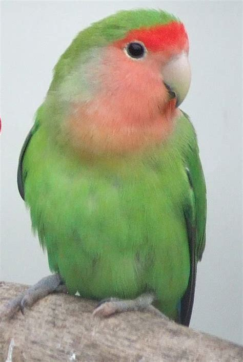 peach faced lovebird birds pinterest