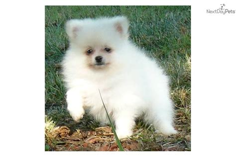 pomeranian puppies for sale in ma meet ashton a pomeranian puppy for sale for 950 delivery ny nj ma pa nh ct