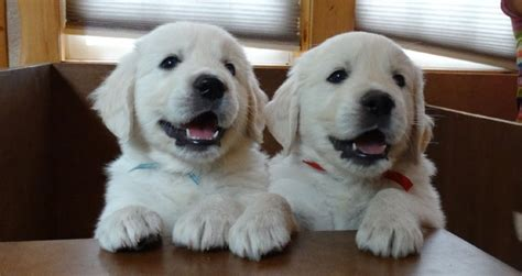 golden retriever puppies in wi best golden retriever breeders wisconsin photo