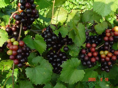 buy muscadine vitus grape vine plants
