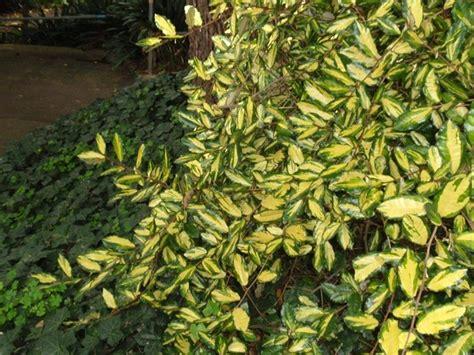 alberi profumati da giardino eleagnus piante da giardino caratteristiche dell eleagnus