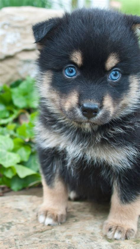 how big do husky pomeranian mix get 25 best ideas about husky pomeranian mix on pomeranian husky puppies